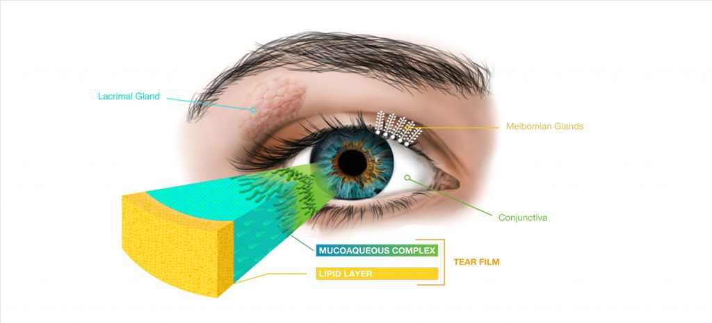 Diagram of the eye showing the different glands, conjunctiva, and tear film.